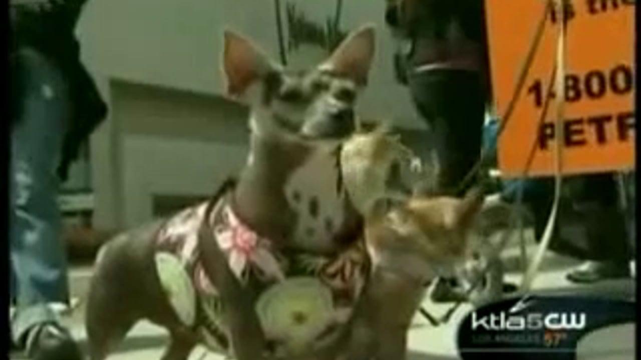 KTLA News – Puppy Mill Investigation in Beverly Hills